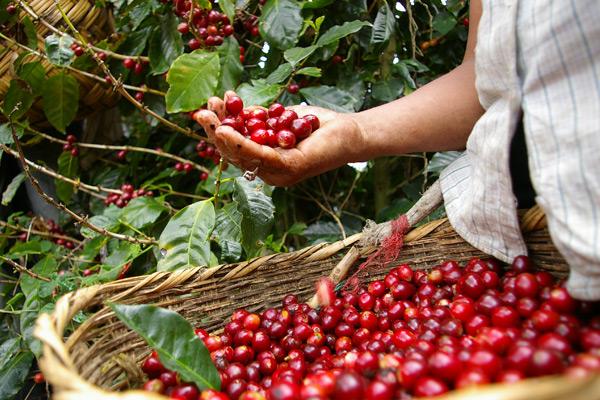 Kávéfajták és a legfőbb különbségek közöttük